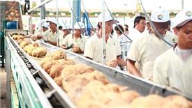 Betrimex và cam kết đồng hành lâu dài cùng nông dân trồng dừa miền Tây