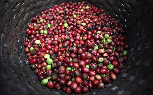 Cà phê Việt om hàng chờ giá tăng
