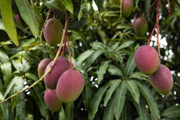 Công ty Hàn Quốc muốn trồng 100ha xoài tại Sóc Trăng