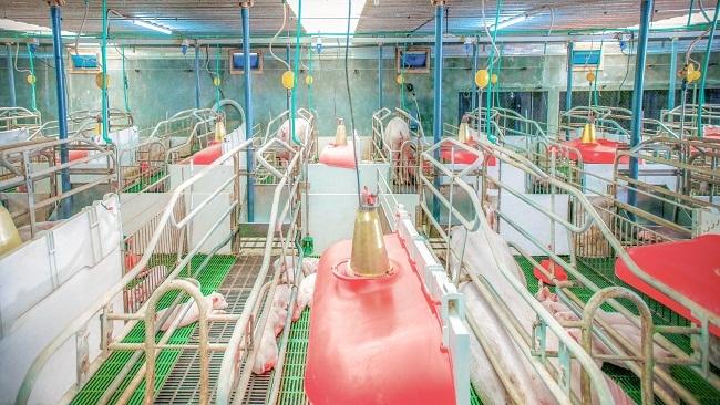 Chìa khóa vực dậy ngành chăn nuôi Việt Nam