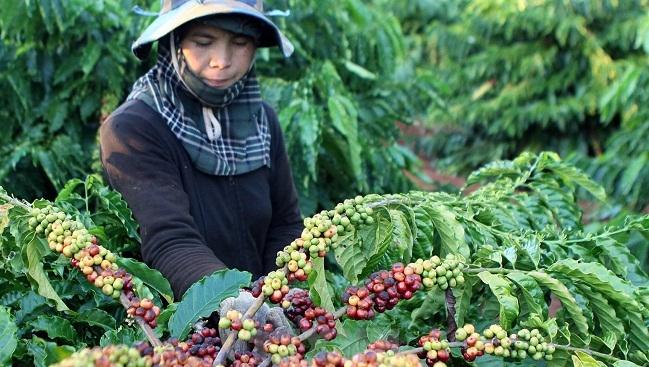 Ngóng EVFTA, cà phê Việt Nam đặt mục tiêu tham vọng xuất khẩu 6 tỷ USD