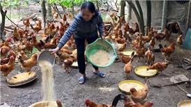 Bộ Công thương: Giá thịt gà giảm không phải do nhập khẩu