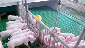 Tập trung tăng đàn lợn tại các cơ sở quản trị tốt để phục vụ Tết