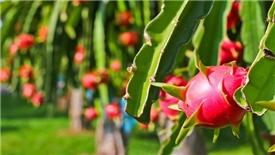 Nhật áp lệnh kiểm tra với một số loại rau, quả Việt