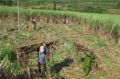 Cần giải pháp cứu ngành mía đường đang 'hấp hối'