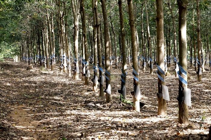 Hoàng Anh Gia Lai bắt đầu khai thác 11 nghìn ha cao su