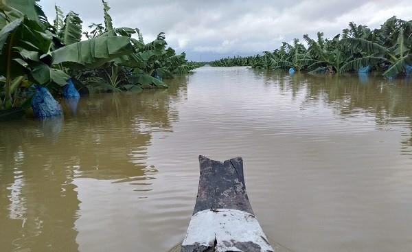 Nước lũ nhấn chìm 1.500 ha cây ăn trái của Hoàng Anh Gia Lai