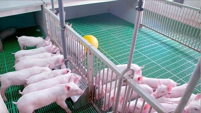 EVFTA với ngành chăn nuôi: Cơ hội mới chỉ là tiềm năng