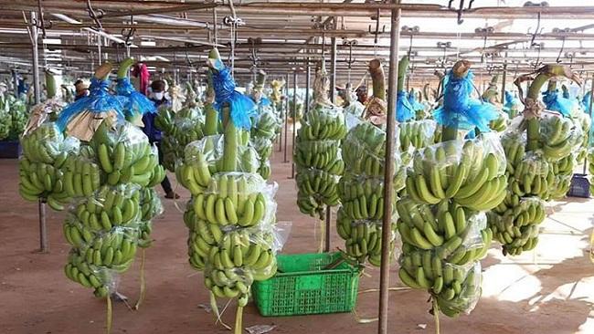 Hoàng Anh Gia Lai chính thức xuất chuối trồng tại Campuchia sang Trung Quốc 1