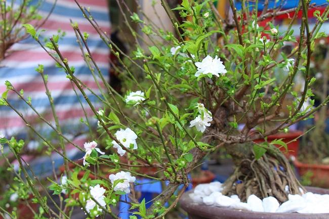 Chợ hoa phố cổ tưng bừng đón Tết Kỷ Hợi 6