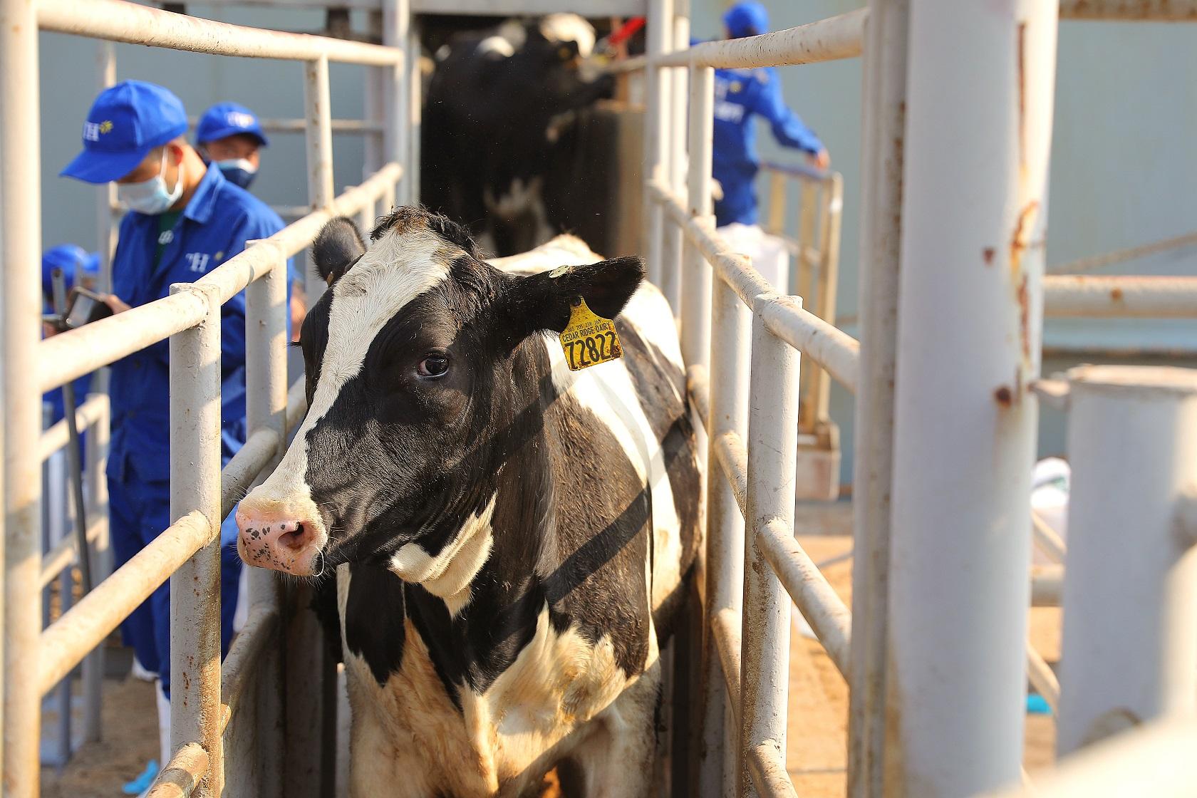 Tập đoàn TH nhập 4.500 bò sữa cao sản thuần chủng 1