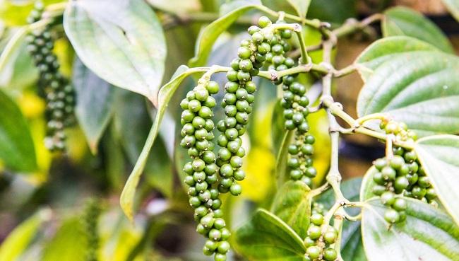 Bayer giúp nông dân Việt Nam sản xuất hồ tiêu đạt chất lượng xuất khẩu 3