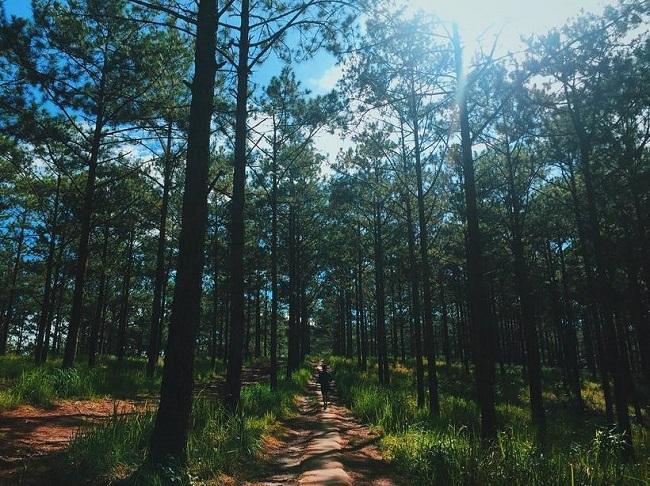 Những rừng thông đẹp nhất miền Bắc Việt Nam 6