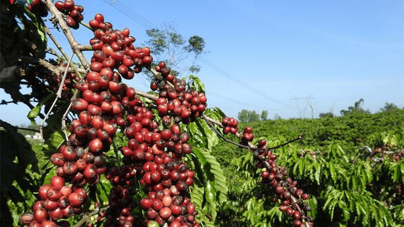 Trồng thêm cây khác để phát triển bền vững ngành cà phê Tây Nguyên