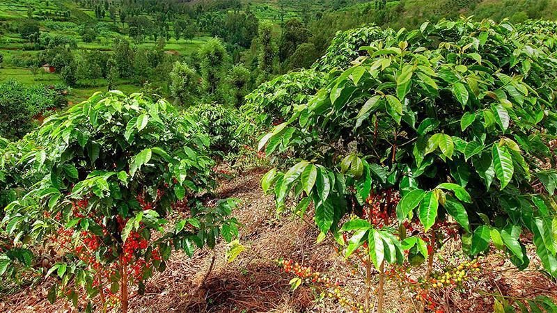 Trồng thêm cây khác để phát triển bền vững ngành cà phê Tây Nguyên 1