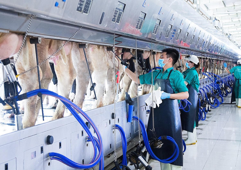 Một ngày ở 'Resort bò sữa 4.0' Tây Ninh 3
